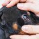 A importância dos géis lubrificantes oculares, no uso veterinário.